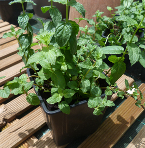 Obtenir des graines et des plantes - Lime Papaye